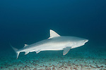 Cocos Island, Costa Rica; a Tiger Shark (Galeocerdo cuvier) swimming over the sandy bottom