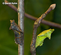 "1021-0801  Polydamas swallowtail Chrysalis ""Comparison of Two Color Variations, Green and Brown, Color Based on Stick Texture"" (Life Cycle Series), Battus polydamus  © David Kuhn/Dwight Kuhn Photography."