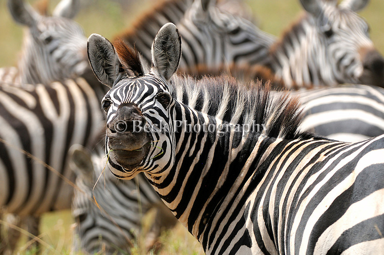 Each zebra has their own unique markings - no two are alike.