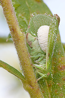 Planthopper Parasite Moth caterpillar; Fulgoraecia exigua; parasitizing Acanalonia conica; PA, Philadelphia, Morris Arboretum