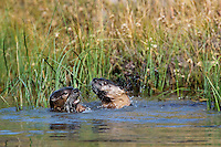 Two North American River Otter (Lontra canadensis) play along edge of Snake River, Western U.S., fall.