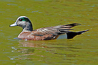 American widgeon adult male in breeding plumage