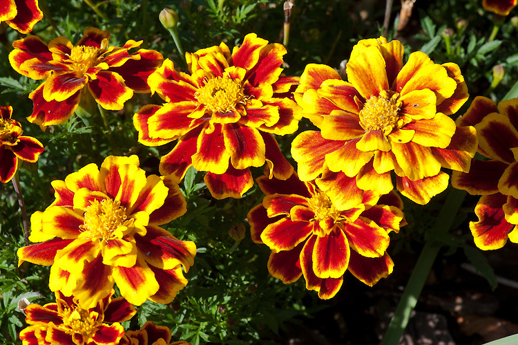 French marigold 'Durango Bee' (Tagetes patula), late September.