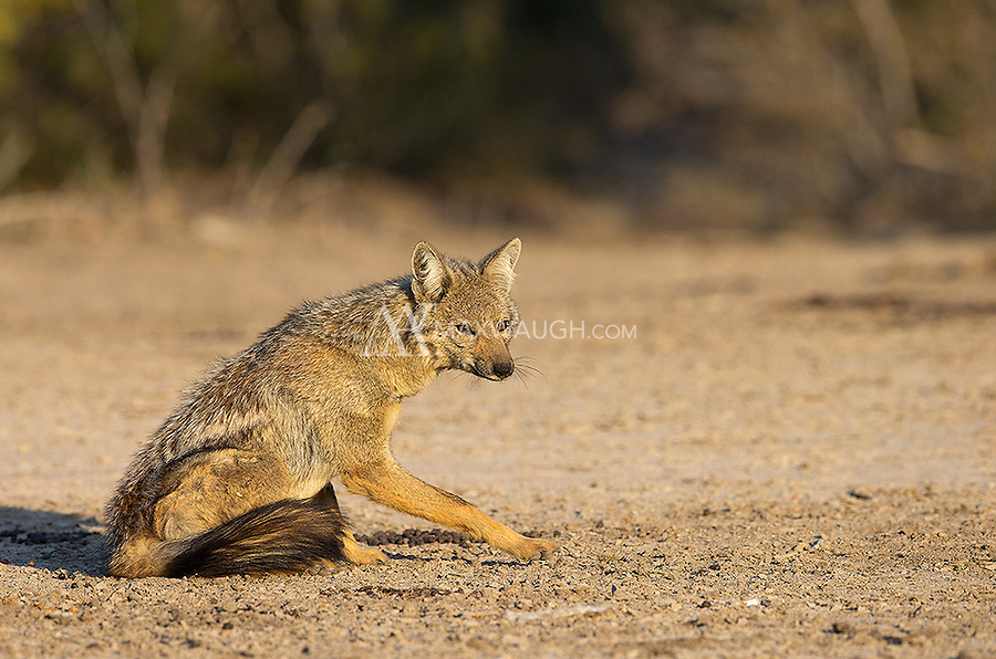 The side-striped jackal is the less common of the two jackal species found at MalaMala.