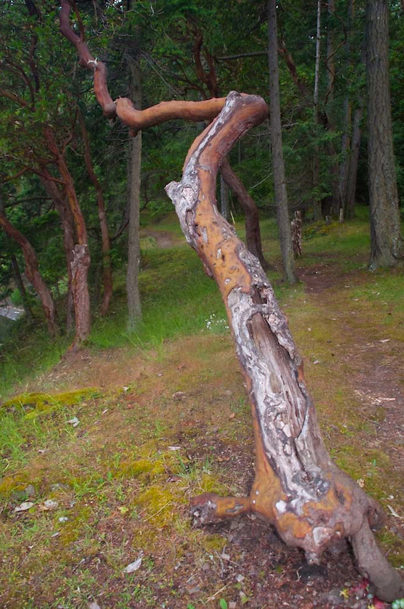 Crazy Madrona (Arbutus menziesii) Tree at Prevost Harbor Campsite, Stuart Island, San Juan Islands, Washington, US