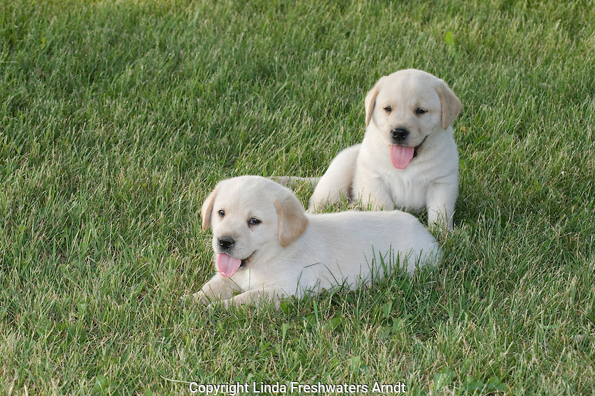 Yellow Labrador retriever (AKC) puppies lying in the grass