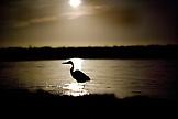 MEXICO, Baja, Magdalena Bay, Pacific Ocean, a bird walks through the moons refelection near Magdalena Bay