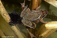 FR20-019z  Wood Frog - mating, female laying eggs - Lithobates sylvaticus, formerly Rana sylvatica