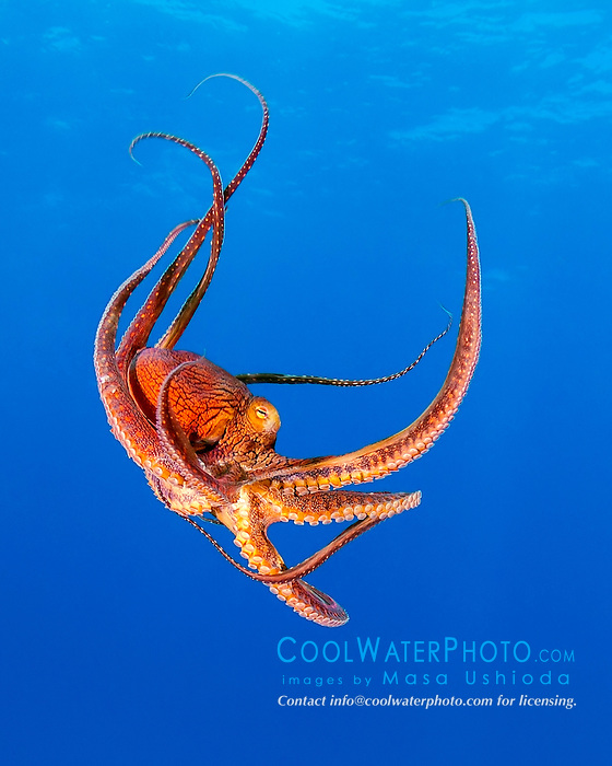 day octopus, Octopus cyanea, Kohala Coast, Big Island, Hawaii, USA, Pacific Ocean