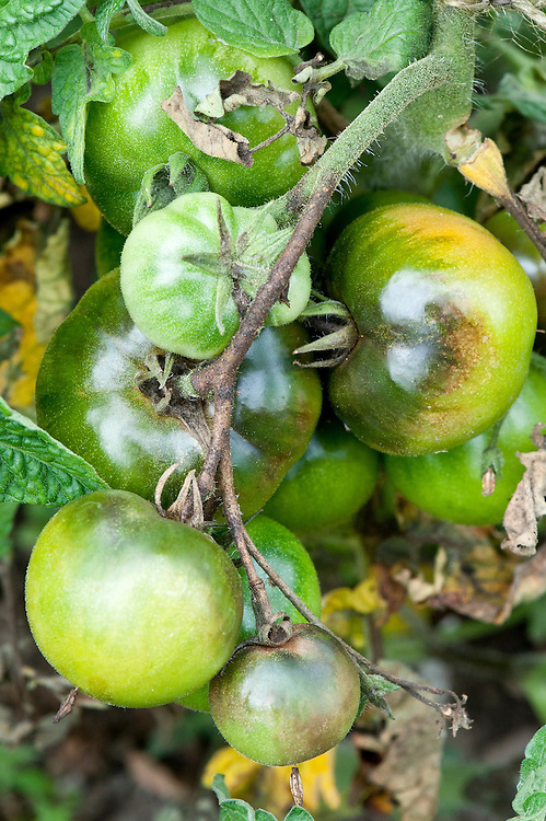 Brown patches on tomatoes infected with blight. Sometimes known as tomato late blight to distinguish it from tomato early blight, caused by a different fungus: Alternaria solani.