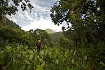 """champs luxuriants de taros ou """"choux chinois"""" (colocasia esculenta) près du  Fonds Saint Denis  et Pitons du Carbet  en fond"""