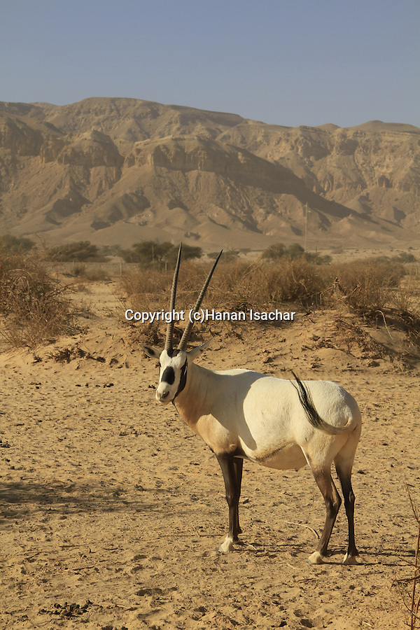 Israel, Arava, an Oryx at the Hai Bar, the National Biblical Wildlife Reserve