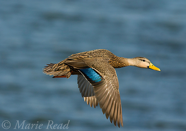 Mottled Duck (Anas fulvigula) male in flight, Brevard County, Florida, USA