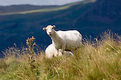 Sheep on a small hill farm in the Croesor Valley, Noth Wales