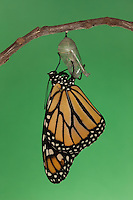 A Monarch Butterfly (Danaus plexippus) drying its wings during the first hour after emerging from its chrysalis