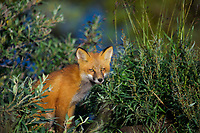 A red fox kit poses in the tundra during a vibrant summer day on Alaska's north slope.