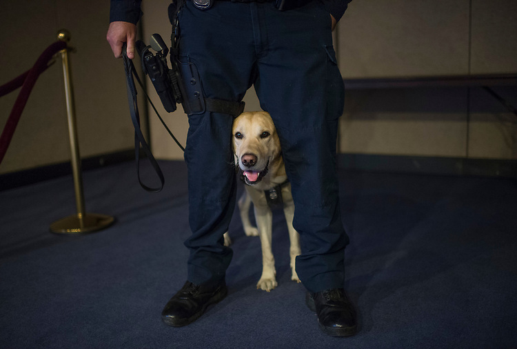 UNITED STATES - APRIL 5: Ladley, of the Amtrak K-9 explosive detection team, prepares for an explosive detection demonstration at a Senate Commerce Committee markup in Hart Building of the Surface Transportation and Maritime Security Act, April 5, 2017. The legislation would authorize up to 70 additional canine teams to address TSA's protection of surface transportation security that includes rail, transit, highway, maritime and freight transportation. His handler is Off. Dan Scanlon, also appears. (Photo By Tom Williams/CQ Roll Call)