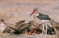 It is not umcommon to see a maribou stork and vultures together on a kill. They seem to tolerate each other's presence quite well, perhaps because the stork's long beak allows it to reach parts of the carcase that the vultures cannot, as can be seen by the blood on the beak of this one.