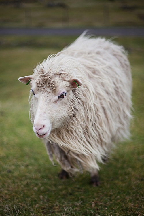 A sheep stands ready for shearing in the Faroe Islands.