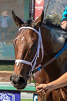 "ARCADIA, CA. OCTOBER 7: #6 Roy H, after winnning the Santa Anita Sprint Championship (Grade l)""Win and You're In Sprint Division"" on October 7, 2017, at Santa Anita Park in Arcadia, CA..(Photo by Casey Phillips/Eclipse Sportswire/Getty Images)"