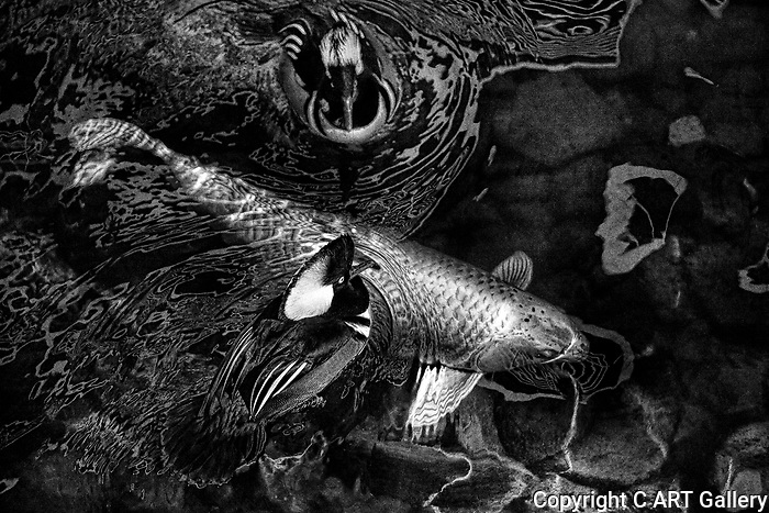 Koi and Merganser Ducks 1 (b&w)