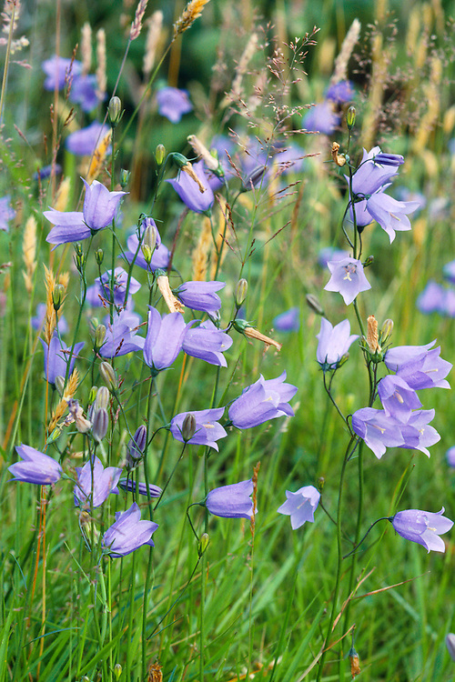HAREBELL Campanula rotundifolia (Campanulaceae) Height to 40cm. Attractive and delicate, hairless perennial with wiry stems. Grows in dry, grassy places, both on calcareous and acid soils. FLOWERS are 15mm long, the corolla blue and bell-shaped with sharp, triangular teeth; nodding and borne on slender stalks (Jul-Oct). FRUITS are dry capsules. LEAVES comprise rounded ones at the base of the plant, which soon wither, and narrower stem leaves that persist while the plant is in flower. STATUS-Widespread and common, except in SW of the region.