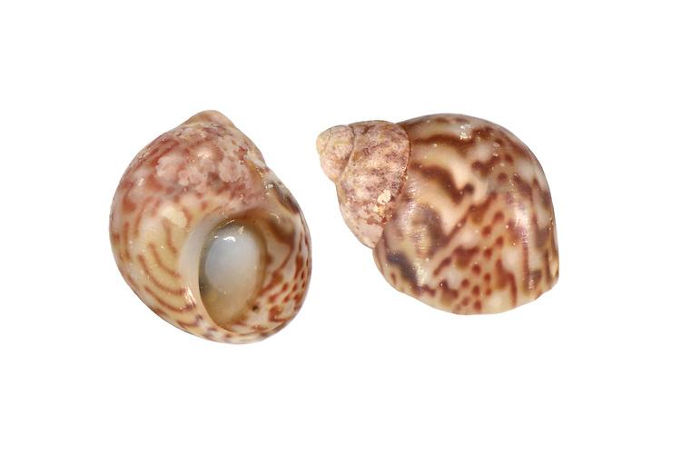 Pheasant Shell - Tricolia pullus