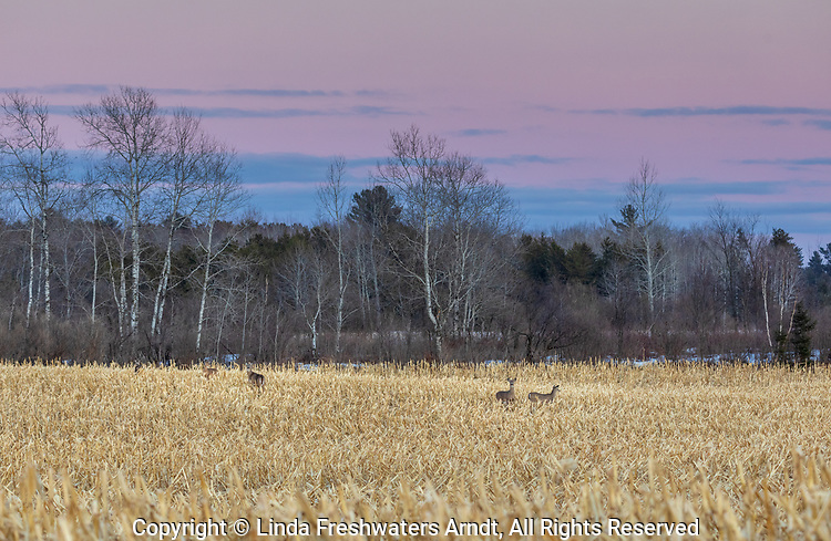 Whitetails in a cornfield in northern Wisconsin.