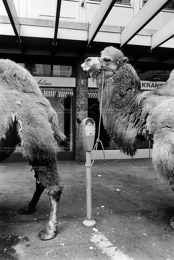 Switzerland. Zürich. Sechseläuten. Camels tied up to parking meters before the start of the parade for the Sechseläuten, which is is a traditional spring holiday in the Swiss city of Zürich celebrated in its current form, usually on the 3rd Monday of April, since the early 20th century. © 1991 Didier Ruef