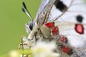 Apollo butterfly (Parnassius apollo) Nordtirol, Austrian Alps. June.