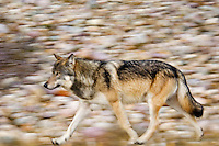 Wild Gray Wolf (Canis lupus) trotting along Athabasca River in Jasper National Park.  Fall.
