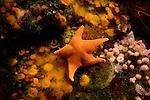 Monterey Bay Aquarium, bat star