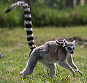 16/05/16<br /> <br /> &quot;I think I'll just cling on to mum as tight as I can...&quot;<br /> <br /> Three baby ring-tail lemurs began climbing lessons for the first time today. The four-week-old babies, born days apart from one another, were reluctant to leave their mothers&rsquo; backs to start with but after encouragement from their doting parents they were soon scaling rocks and trees in their enclosure. One of the youngsters even swung from a branch one-handed, at Peak Wildlife Park in the Staffordshire Peak District. The lesson was brief and the adorable babies soon returned to their mums for snacks and cuddles in the sunshine.<br /> All Rights Reserved F Stop Press Ltd +44 (0)1335 418365