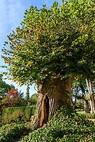 France, Maine-et-Loire (49), Champtocé-sur-Loire, Château du Pin, les jardins, tilleul creux traité en cabane