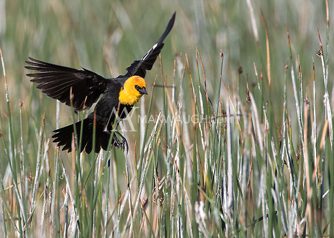 A male yellow-headed blackbird patrols his territory.