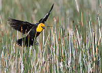 A male yellow-headed blackbird patrols his territory.