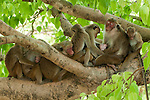 These Toque Macaques are part of the dry-zone subspecies, macaca sinica sinica. Active in the relative cool of the morning and evening they spend the rest of the day sleeping and grooming together, an important part of social bonding. Polonnaruwa, Sri Lanka. IUCN Red List Classification: Endangered