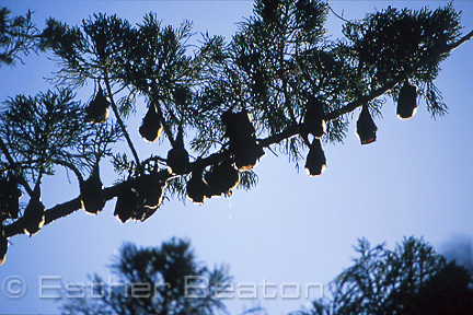 Grey-headed flying fox colony (Pteropus poliocephalus) in daytime roost near Kyogle, New South Wales