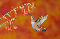 Rufous Hummingbird (Selasphorus rufus), female in flight feeding onScarlet Gilia (Ipomopsis aggregata), Gila National Forest, New Mexico, USA