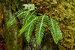 Common polypody (Polypodium virginianum L) in spring, Rocky Fork