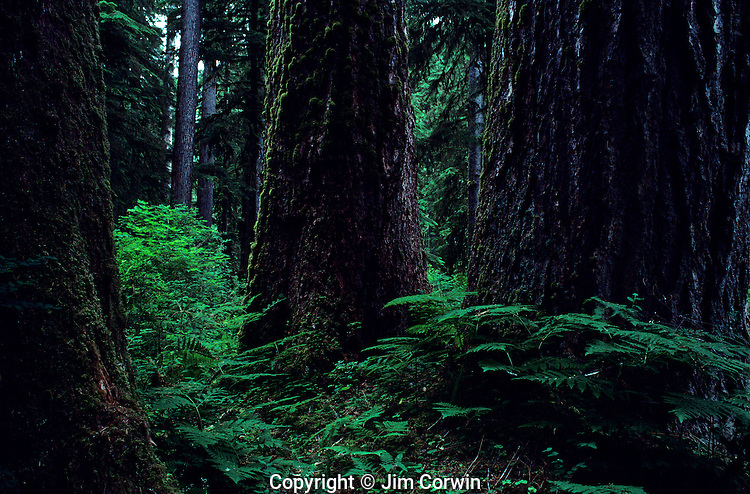 Old Growth Forest Mount Rainier National Park Washington State USA