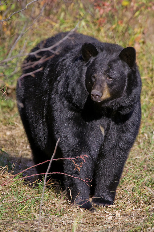 Female Black Bear standing along the edge of a forest