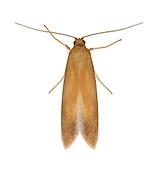 10.001 (0123)<br /> Tischeria ekebladella