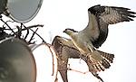 An osprey carries sticks to build its nest high atop a light tower overlooking Broadneck High School.