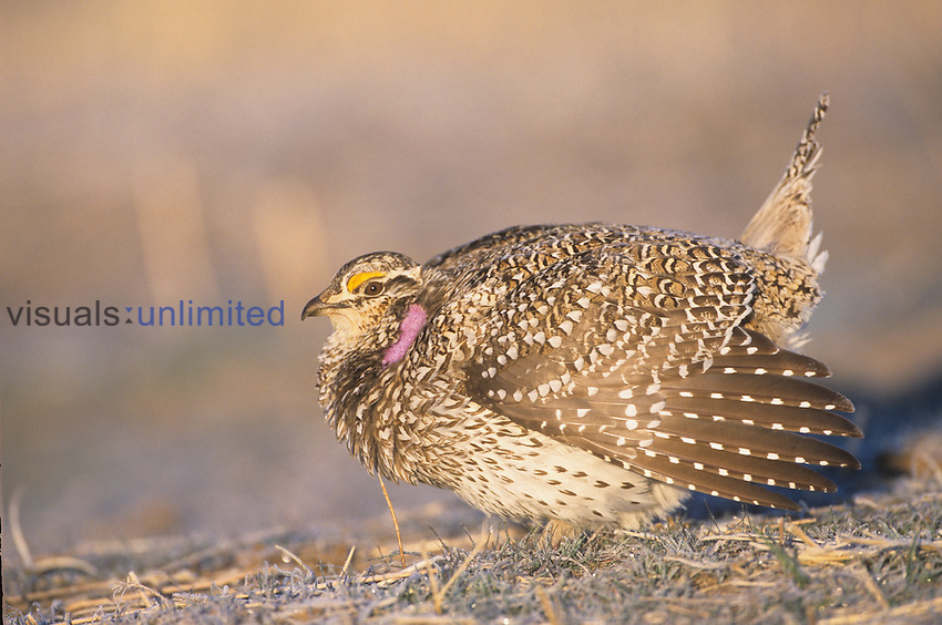 Sharp-tailed Grouse (Tympanuchus phasianellus), on the Nebraska tallgrass prairie.