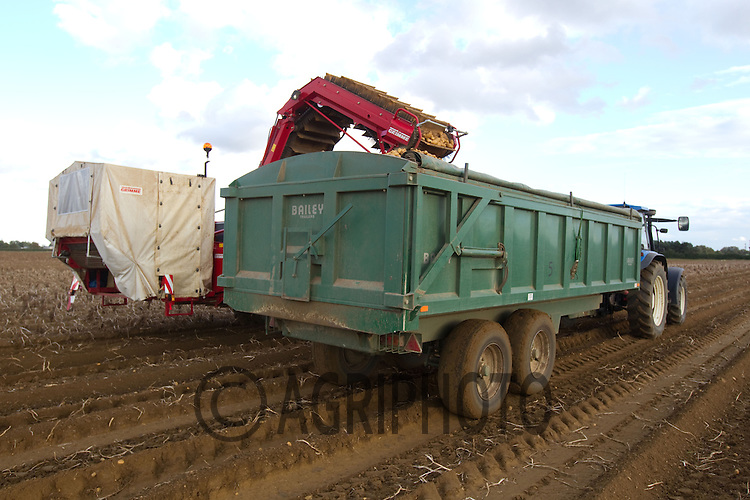 Lifting potatoes in Lincolnshire.Picture by Tim Scrivener date taken 3rd October 2012.mobile 07850 303986 e-mail tim@agriphoto.com.....covering agriculture in The United Kingdom.....