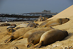 elephant seal weaners at Ano Neuvo State Reserve