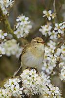 Fitis, Fitis-Laubsänger, Fitislaubsänger, Phylloscopus trochilus, Willow Warbler, Pouillot fitis