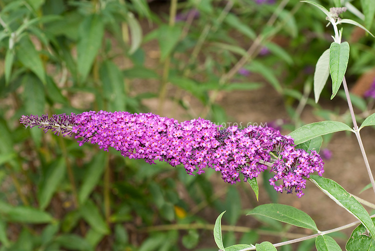 Butterfly Bush Buddleja davidii 'Royal Purple' TN36