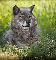 Gray Wolf lying in the grass under a tree in Yellowstone, Wyoming